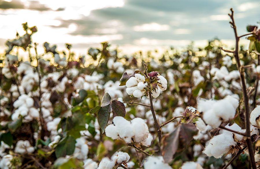 Cultivo-algodon